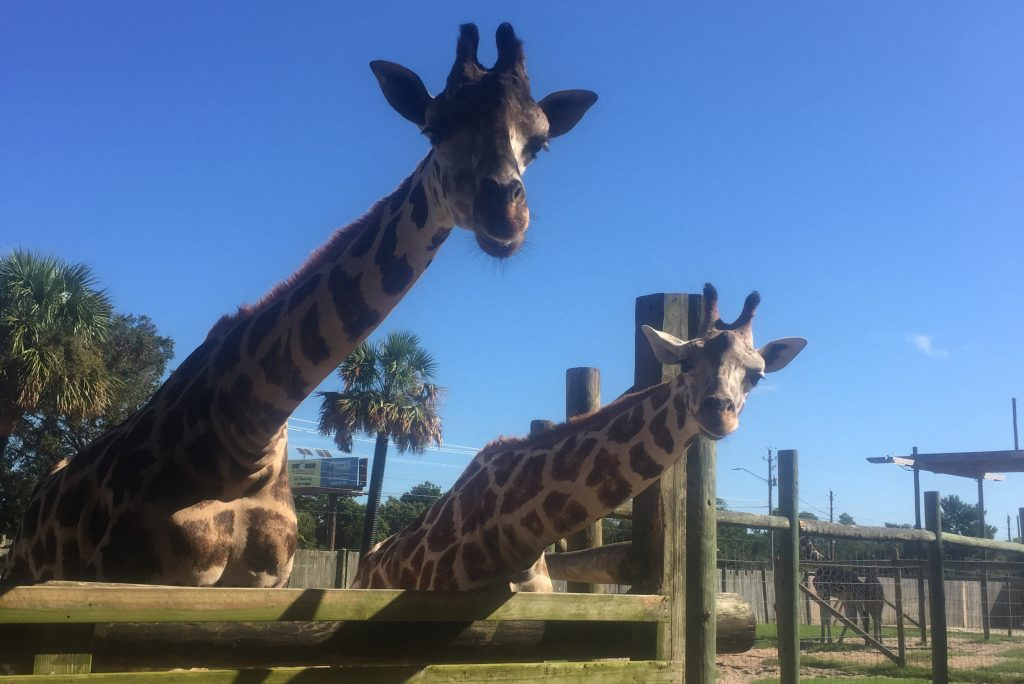 gulf-breeze-zoo-giraffe-feeding-area